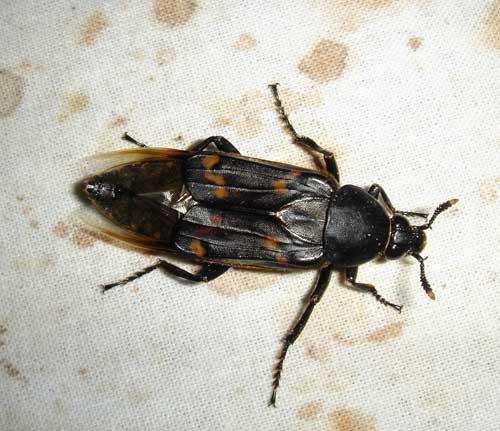 Silphidae Diamesus osculans