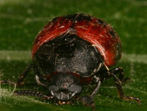 Tenebrionidae sp