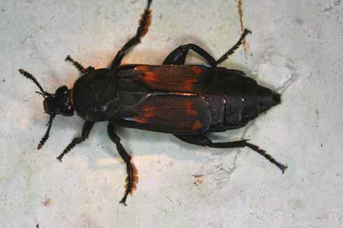 Beetle Silphidae
