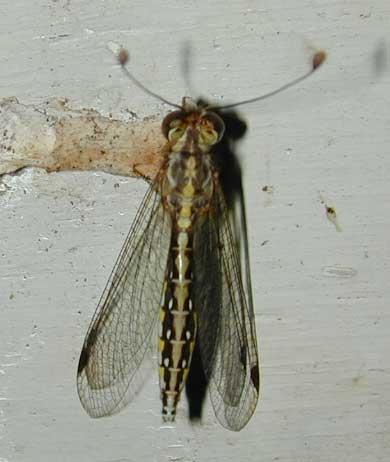 Ascalaphidae owlfly