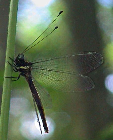 Ascalaphidae owlfly 1