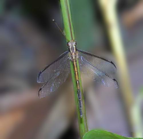 Ascalaphidae owlfly 10