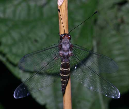 Ascalaphidae owlfly 11
