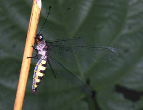 Ascalaphidae owlfly 12