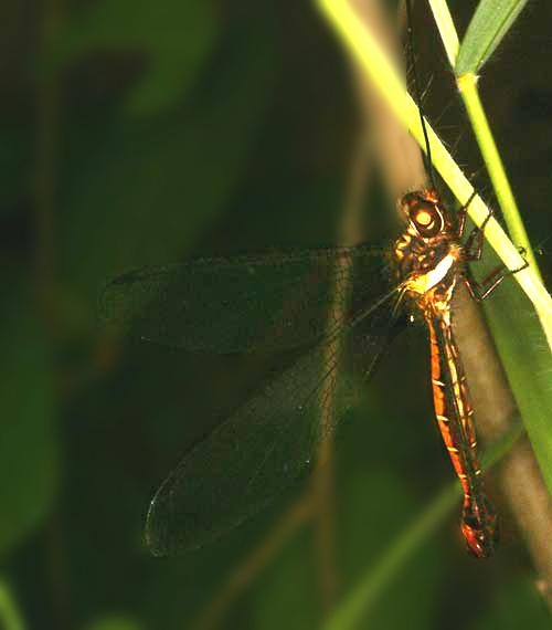 Ascalaphidae owlfly 13