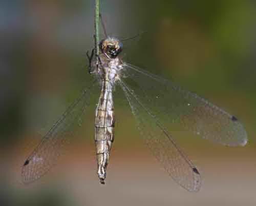 Ascalaphidae owlfly 2