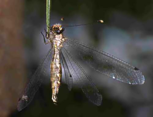 Ascalaphidae owlfly 3