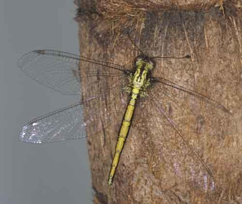 Ascalaphidae owlfly 4