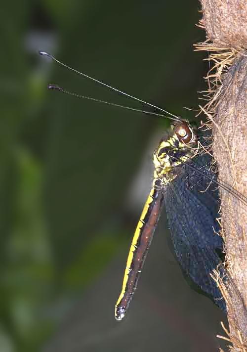 Ascalaphidae owlfly 5