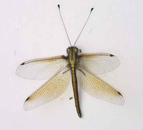 Ascalaphidae owlfly 6