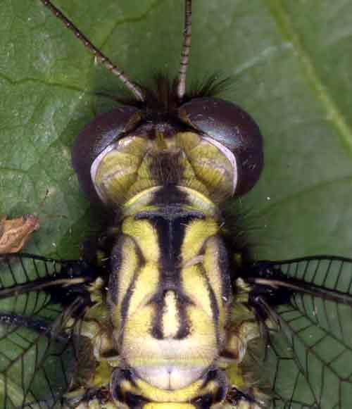 Ascalaphidae owlfly 7