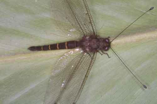 Ascalaphidae owlfly 9