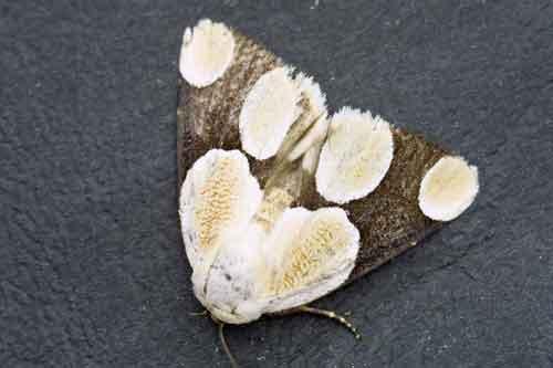 Cymatophoropsis formosana