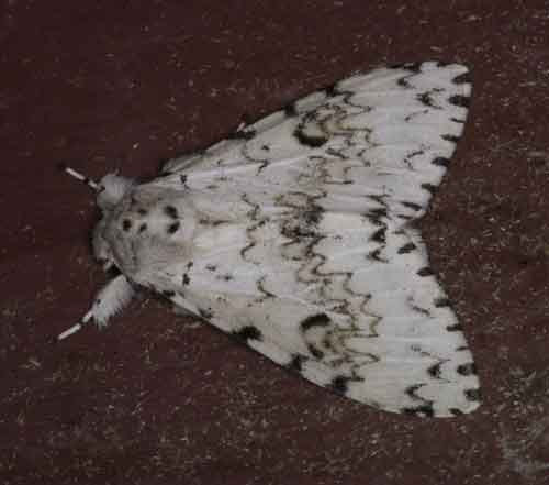 Pantheinae sp