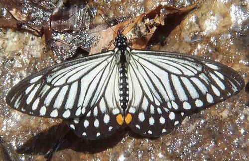 Chilasa epycides