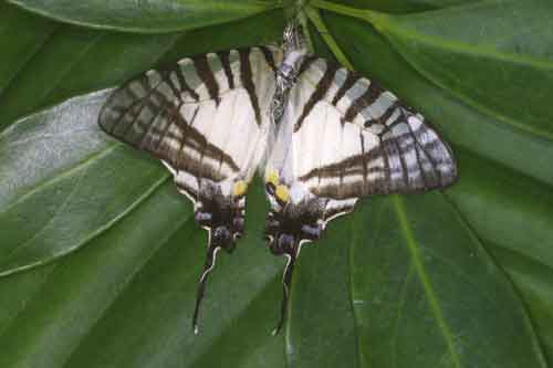 Graphium glycerion