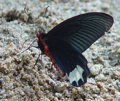 Atrophaneura zaleucus