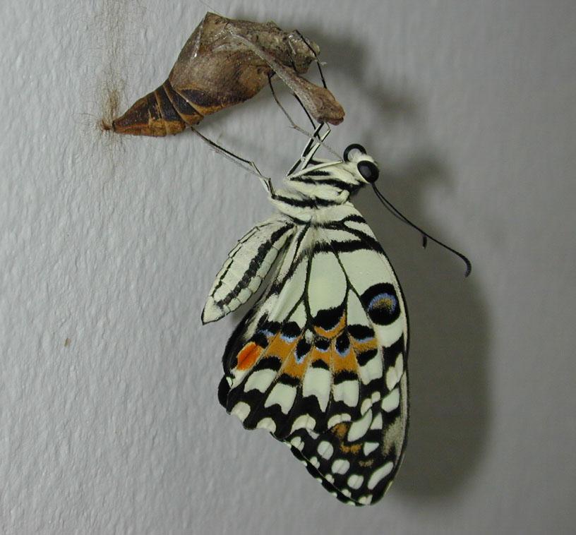 Papilio demoleus 2