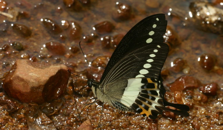 Papilio demolion- first sighting!