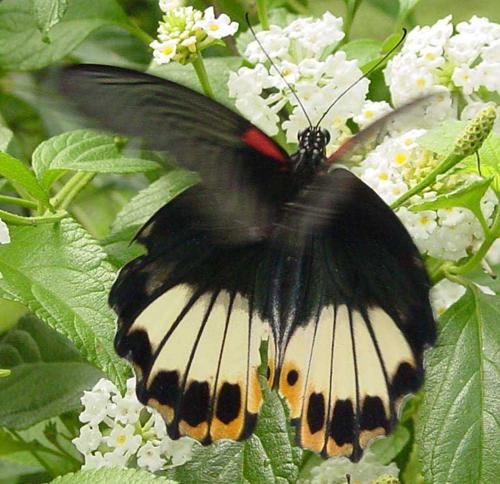 Papilio memnon 1