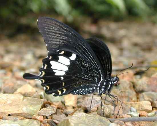 Papilio nephelus 1