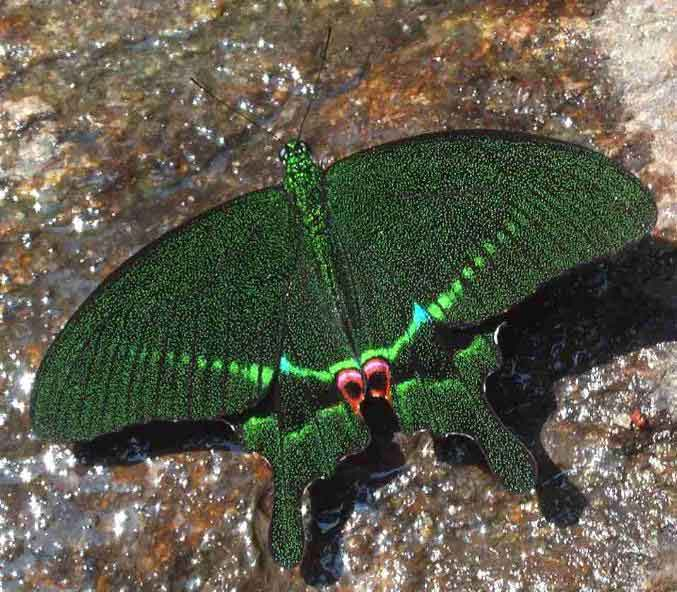 Papilio paris 1