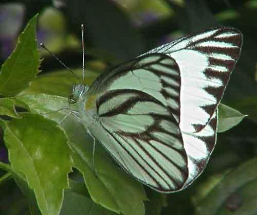 Appias libythea