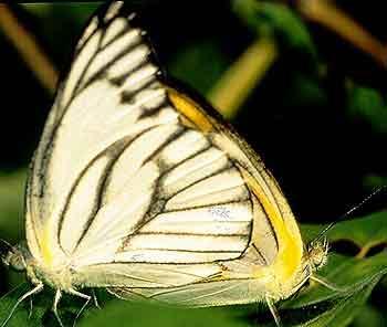 Appias libythea1