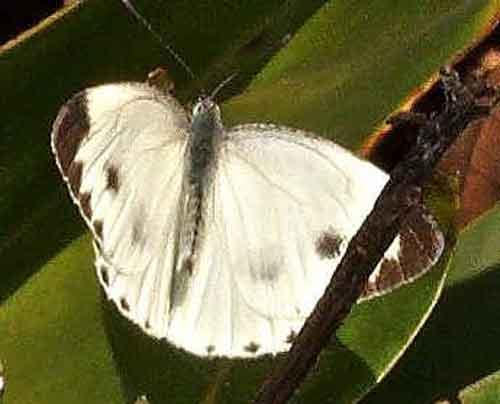 Artogeia canidia