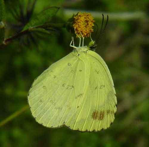 Eurema blanda