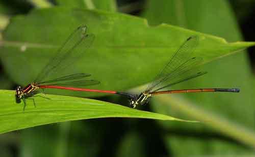 Calicnemia erythyomelas