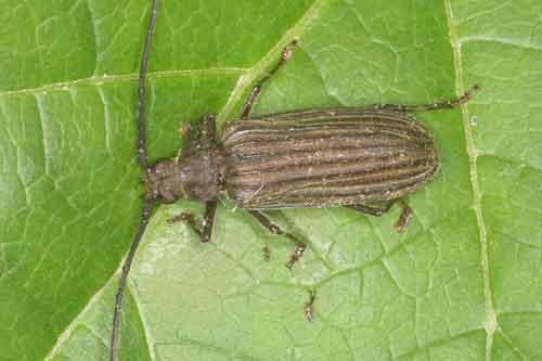 Megopis procera