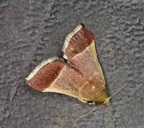 Endotrichinae sp (Endotrichini)