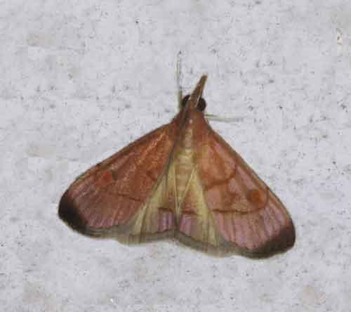 Hemiscopis sanguinea (Odontiinae)
