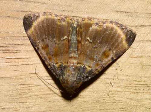 Lista sp (Epipaschiinae)