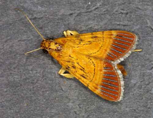 Lista sp 1 (Epipaschiinae)
