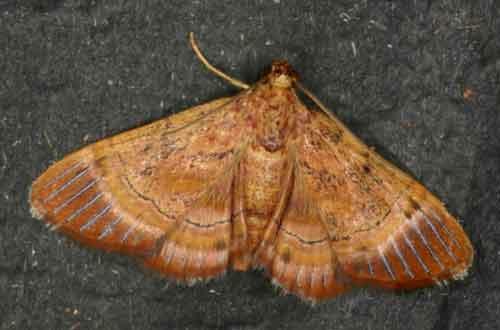 Lista sp 2 (Epipaschiinae)