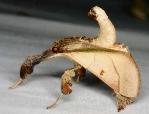 Sacada Sp 1a (Pyralinae)