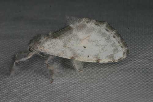 Sacada Sp 2a (Pyralinae)