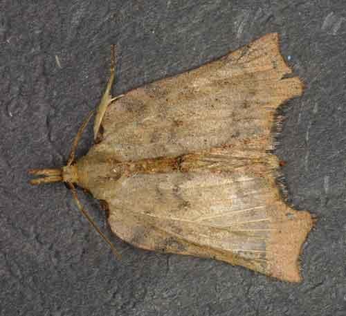 Xenomilia humeralis (Pyralinae)