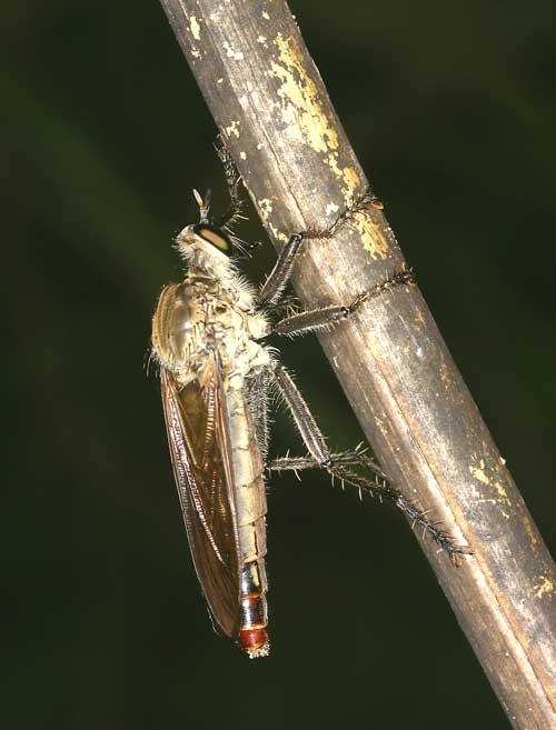 unidentified Asilidae 10