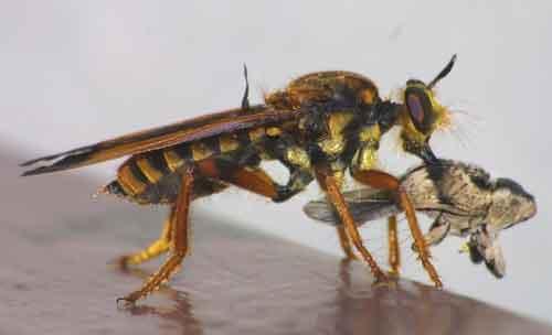 unidentified Asilidae 6