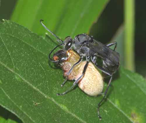 unidentified Asilidae with spider prey
