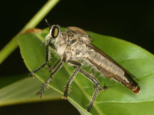 unidentified Asilidae 8