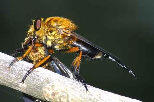 Asilidae Astochia