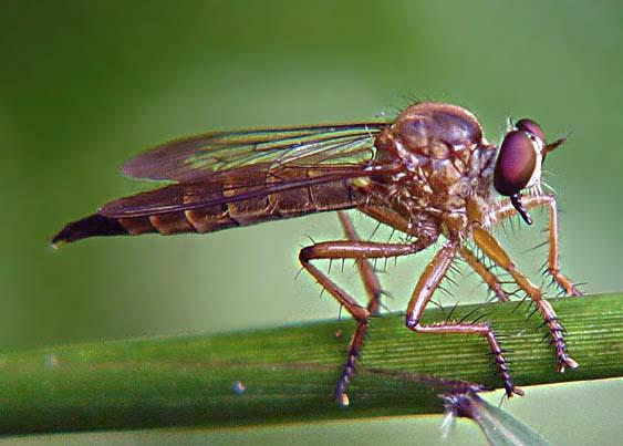 Asilidae Clephydroneura Becker 1
