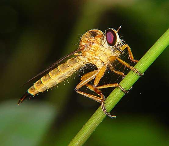 Asilidae Clephydroneura Becker 2