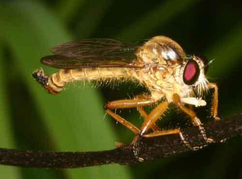Asilidae Clephydroneura Becker 3