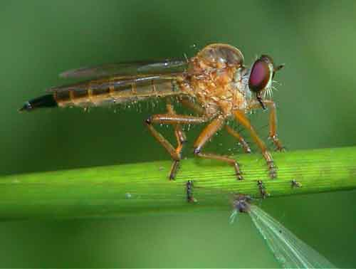 Asilidae Clephydroneura Becker 4