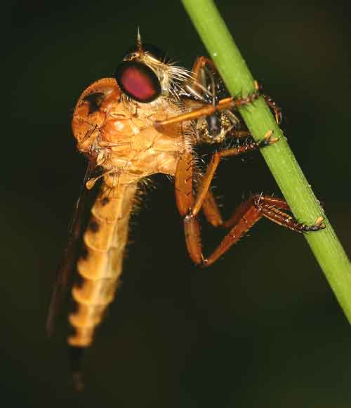 Asilidae Clephydroneura Becker 5